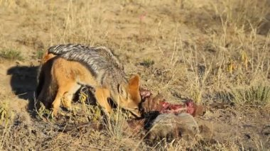 Scavenging black-backed Jackals — Stock Video