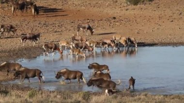 Wildebeest and antelopes at a waterhole — Stock Video