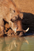 Warthog drinking water — Stock Photo