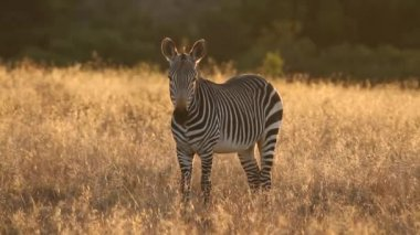 Cape Mountain Zebra — Stockvideo
