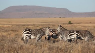 Cape Mountain Zebras — Stockvideo