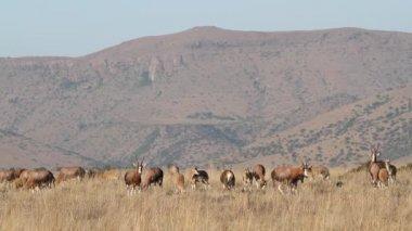 Grazing blesbok antelopes — Stock Video