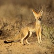 Stock Photo: Cape fox
