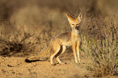 Cape fox — Stock Photo