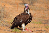 Lappet-faced vulture — Stock Photo