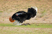 Avestruz macho mostrando — Foto de Stock