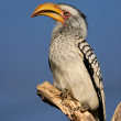 Yellow-billed hornbill — Stockfoto
