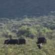 Stock Video: Grazing Africbuffalos