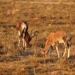 Stock Video: Grazing blesbok antelopes