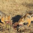 Scavenging black-backed Jackals — Stock Video #27147001