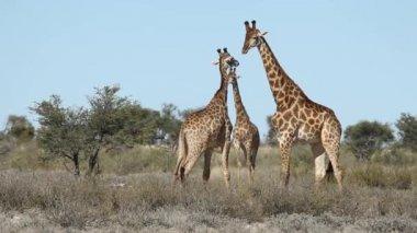 Fighting giraffer — Stockvideo