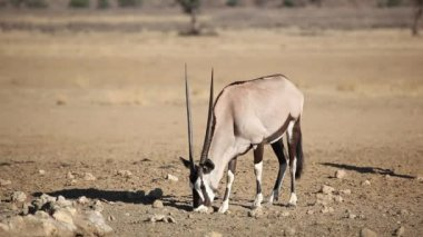 Gemsbok antelope — Stock Video