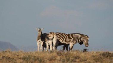 Cebras de la llanura — Vídeo de stock