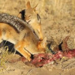 Stock Video: Scavenging black-backed Jackals