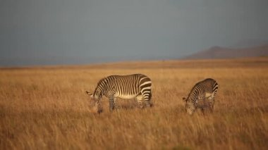Cape Mountain Zebras — Wideo stockowe