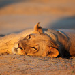 Resting lioness — Stock Photo