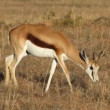 Stock Video: Springbok antelope