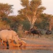 White rhinoceros and calf — Stock Video