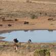 Stock Video: Wildebeest and antelopes at waterhole