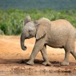 Young African elephant — Stock Photo #27919381