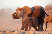 African elephants covered in dust — Stock Photo