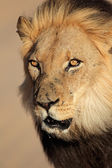 African lion portrait — Stock Photo