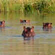 Hippopotamus in water — Stock Photo #28750159