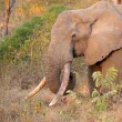 Stock Photo: Africelephant tusker