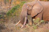 African elephant tusker — Stock Photo