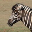 Plains Zebra — Stock Video #29283641