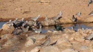 Cape turtle doves — Stock Video