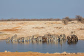 Etosha waterhole — Stock Photo