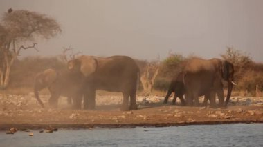 African elephants in dust — Stock Video