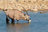 Gemsbok antelope drinking — Stock Photo
