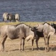 White-bearded wildebeest — Stock Video