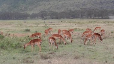 Impala antelopes feeding — Vídeo Stock