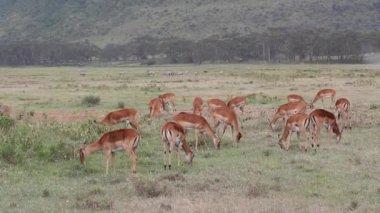 Impala antilopen voeding — Stockvideo