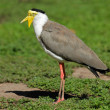 Masked lapwing — Stock Photo #31388957
