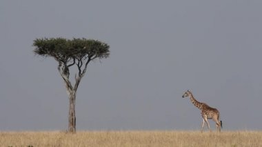Masai giraffe and tree — Stock Video