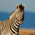 Plains Zebra portrait — Stock Photo #31873683