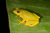 Tinker reed frog — Stock Photo