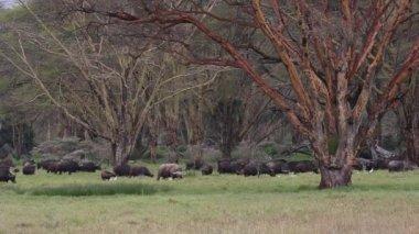 Grazing African buffalos — Stock Video