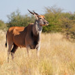 Eland antelope — Stock Photo #32288259