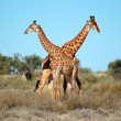 Stock Photo: Giraffe bulls