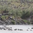 Stock Video: Wildebeest migration