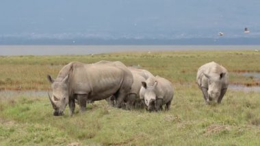 White rhinoceros feeding — Stock Video