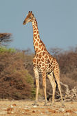 Giraffe bull — Stock Photo