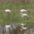 Stock Video: Greater flamingos