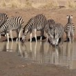 Plains Zebras drinking — Stock Video #33213867