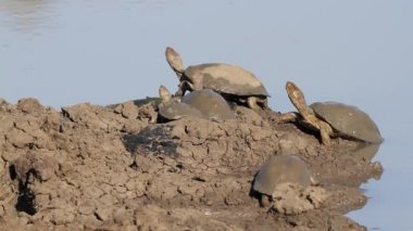 Helmeted terrapins — Stock Video